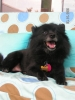 German Spitz, 3, black