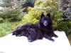 German Spitz, kennel Re-Jan Moravia, Grey