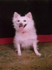 German Spitz, 5, White