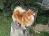 German Spitz, 5, orange