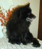 German Spitz, 6, Black