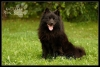 German Spitz, 3 year, Black