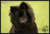 German Spitz, 4 year, Black
