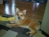 German Spitz, 11 months, red