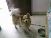 German Spitz, 5 years and 8 months, White and  cream