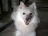 German Spitz, 1 year 7 month old, white