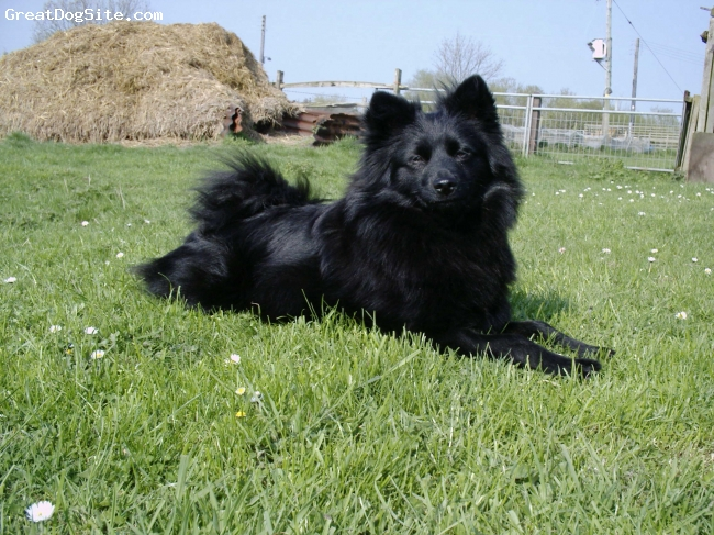 German Spitz, 2, black, gay is a very happy and intelgent and loves to please