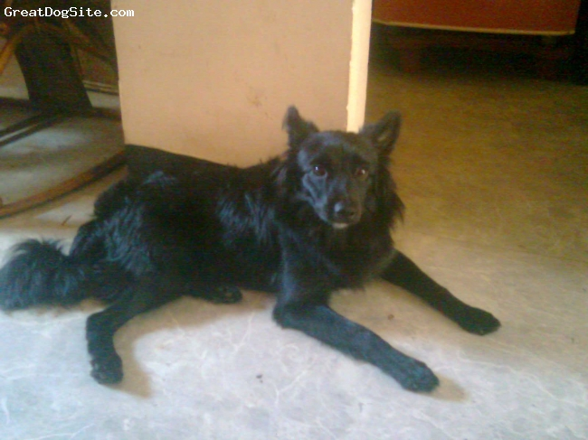 German Spitz, 1year, Black, His name is spiky. It is my dog. He is a male and he is a very well behaved and a well trained dog.