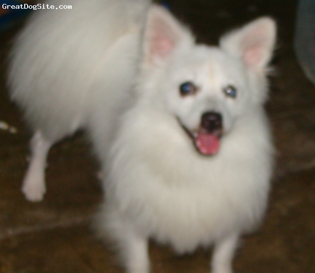 German Spitz, 1year 3months, White, My Best brother!