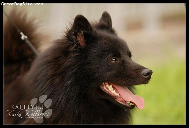 German Spitz, 3 year, Black, Gross Spitz  - World Winner 2009, Europe Winner 2006..