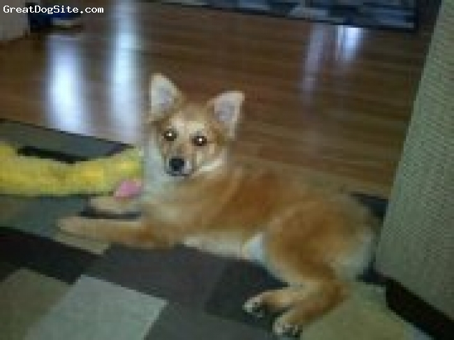 German Spitz, 11 months, red, He is a male .He is red mostly his tail curls .very smart very alert ,alerts us when somebody is near house . loves to walk on back legs which i find weird .He was very easy to train .,loves his toys and children .very spoiled .