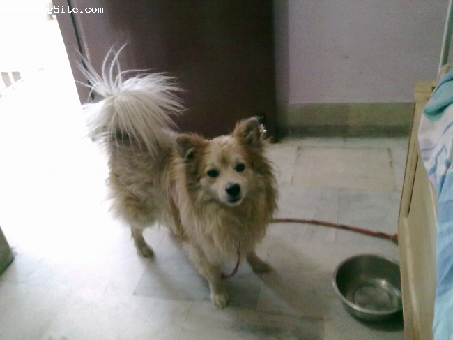 German Spitz, 5 years and 8 months, White and  cream, handsome...with his nose always in air.loves to eat but hates to share it.............