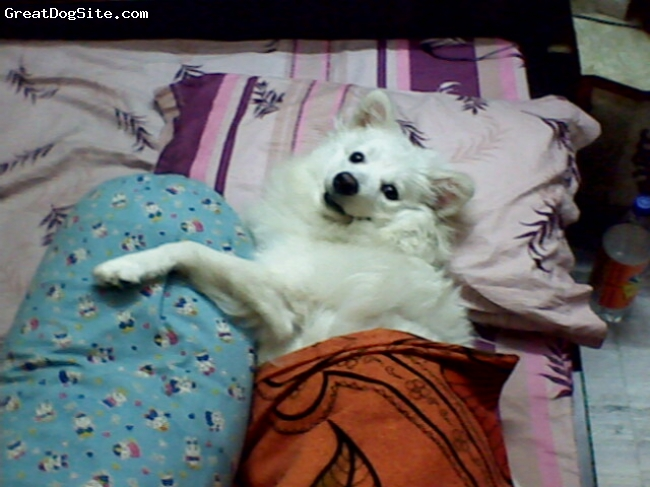 German Spitz, 1 yr 2 months, white, before going to bed.....