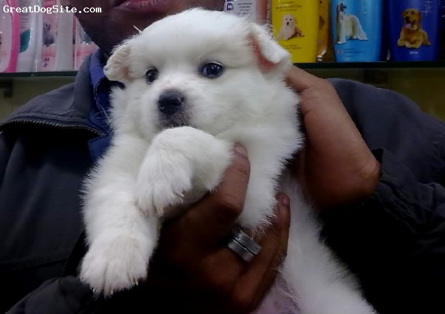 German Spitz, 3 month, white, he is too cute..........
