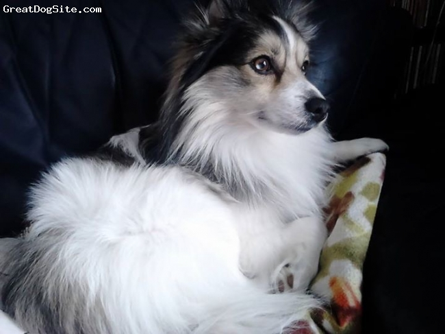 German Spitz, 6, mixed, Buddy came to me as an abused, scared pup at 2 1/2 yrs old. He was very easy to train, including addressing the barking issue. Very loya.