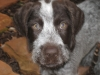 German Wirehaired Pointer, 2 months, liver and white