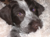 German Wirehaired Pointer, 3 months, liver and white