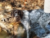 German Wirehaired Pointer, 9 Months, White & Brown