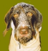 German Wirehaired Pointer, 8 years, liver & white ticked