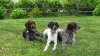 German Wirehaired Pointer, 1yr, 3yr, 8yr, liver & white