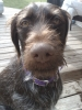 German Wirehaired Pointer, 4, brown