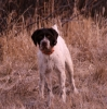 German Wirehaired Pointer, Delivery Date June 17, Liver & White/White & Liver