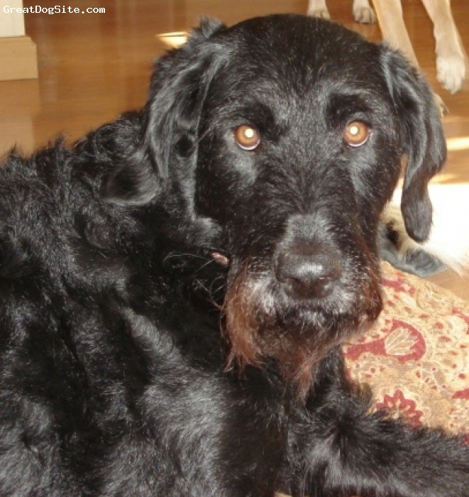 A photo of a 4 old, Black, German Wirehaired Pointer ...  Black German Wirehaired Pointer