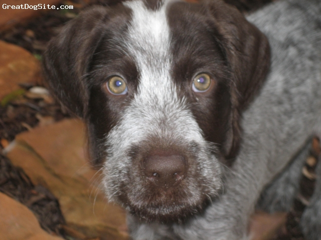 German Wirehaired Pointer, 2 months, liver and white, sweet face