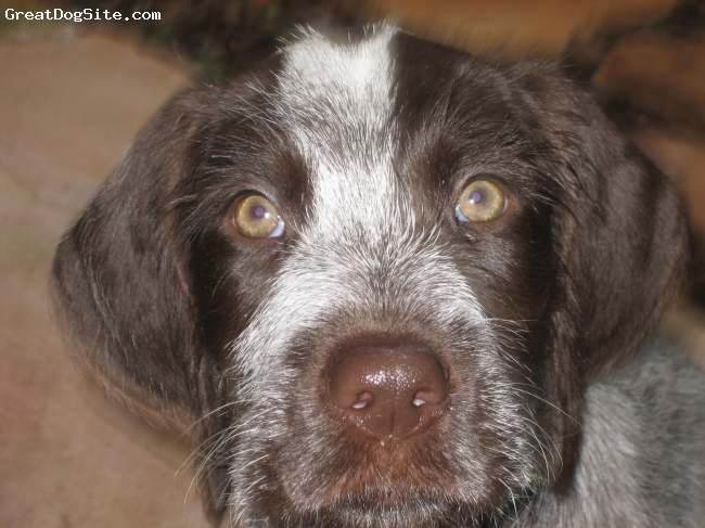 German Wirehaired Pointer, 2 months, liver and white, close up