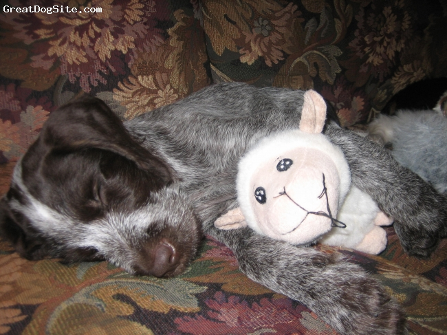 German Wirehaired Pointer, 3 months, liver and white, sleeping