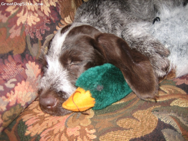 German Wirehaired Pointer, 3 months, liver and white, sleeping with duck