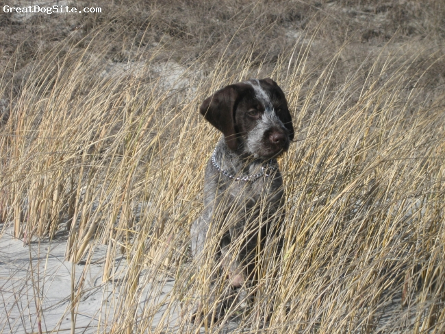 German Wirehaired Pointer, 3 months, liver and white, at the beach