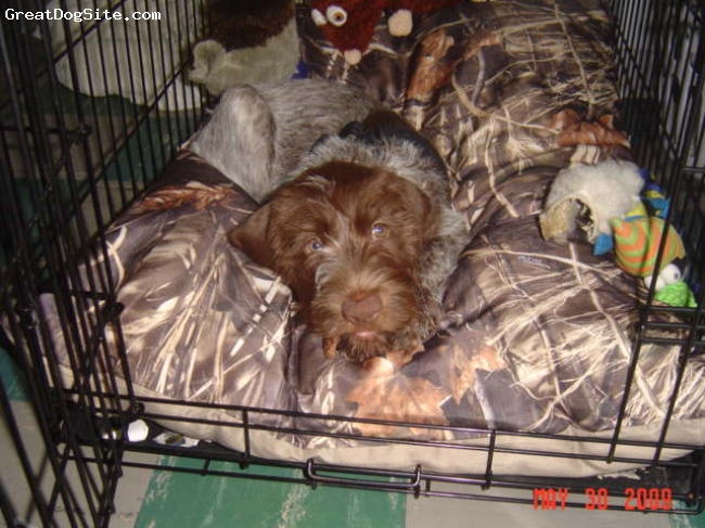 German Wirehaired Pointer, 12 weeks, Liver and ticked, New bed