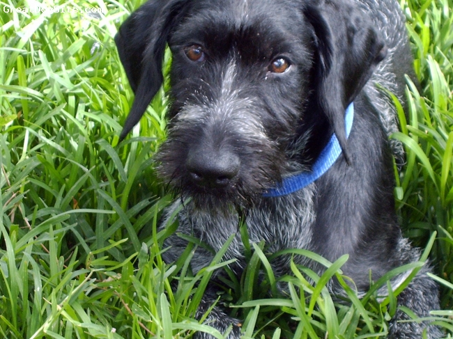 A photo of a 2 old, Black with White specs, German ...  Black German Wirehaired Pointer