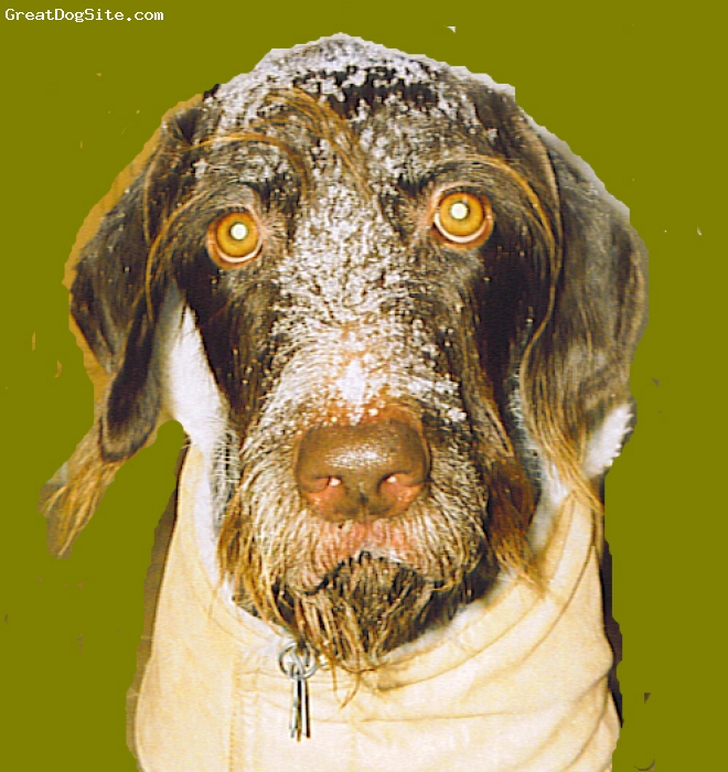 German Wirehaired Pointer, 8 years, liver & white ticked, Frankie was a 'rescue' that I got when he was 12 weeks old. He is a very smart, obediant, devoted energetic famly member. I couldn't have gotten a better dog.