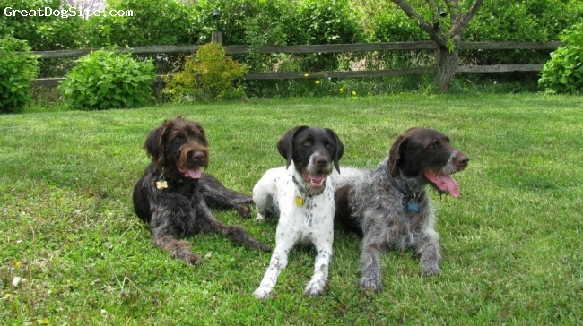 German Wirehaired Pointer, 1yr, 3yr, 8yr, liver & white, The 3 clowns. Frankie is mine, the other two are my mothers. They love to play together.
