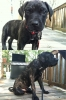 Giant Maso Mastiff, 5 Months, Brendle