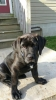 Giant Maso Mastiff, 4 month old, brindles