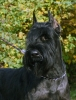 Giant Schnauzer, 1,5 years, black
