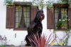 Giant Schnauzer, 6 yrs, Black