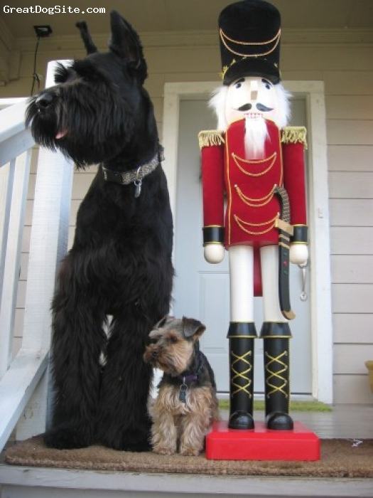 Giant Schnauzer, 2.5 years, Black, Goliath and Baxter's Christmas picture 2007
