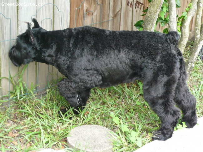 Giant Schnauzer, 4, black, on guard at the fence-just plain beautiful!