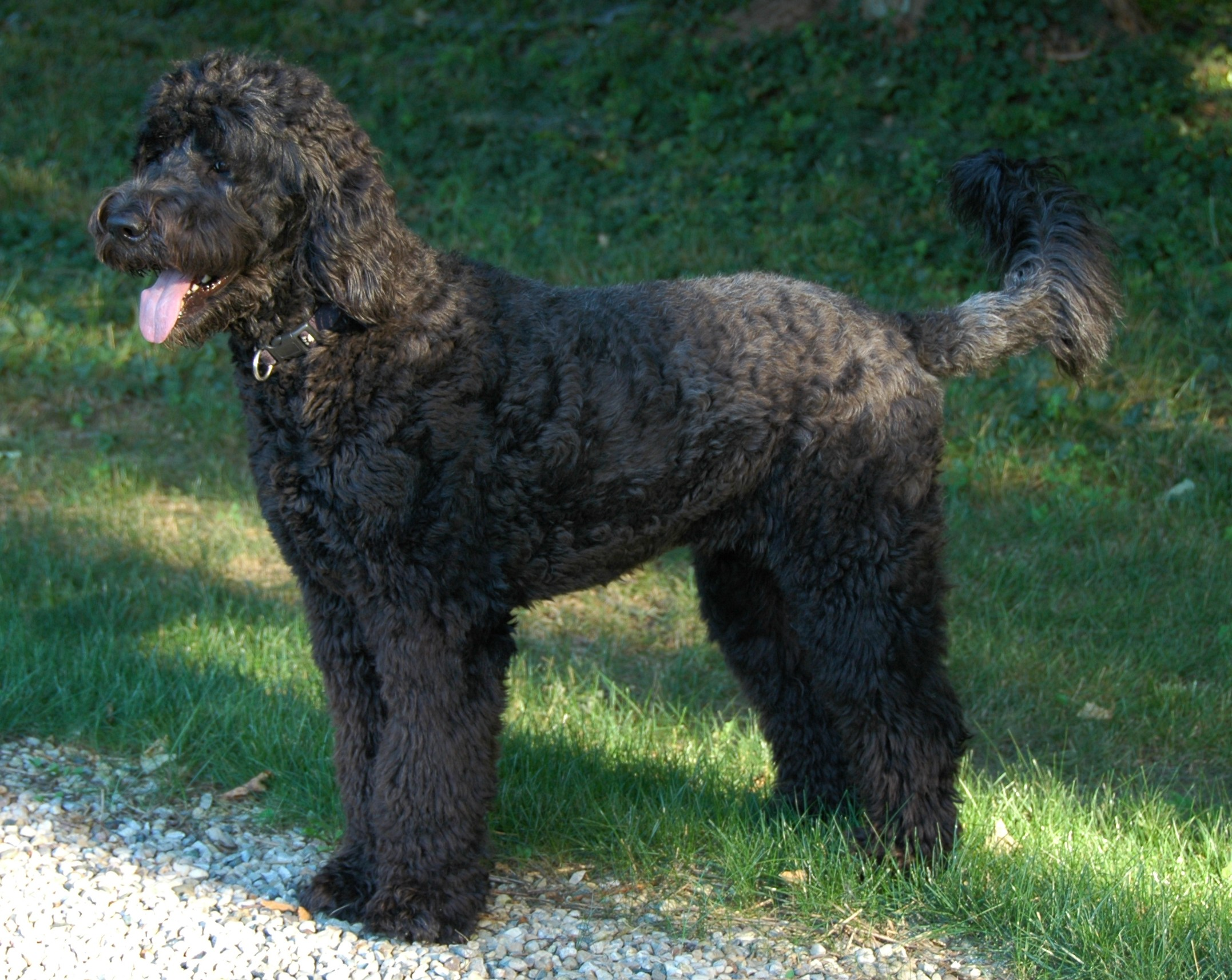 Thread: What is the deal with bernedoodles?