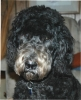 Giant Schnoodle, Born 7/29/05, Black/silver