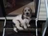 Glechon, 7 months, Tricolor