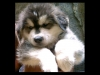 Goberian, 2 months, black,white