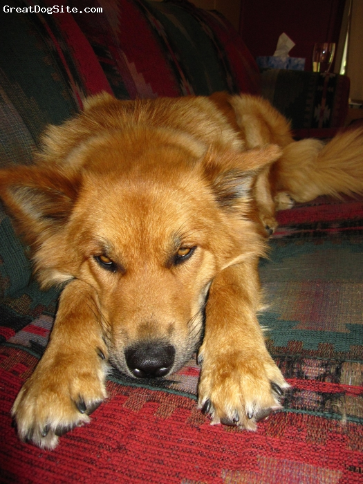 Goberian, 1, Gold, Just adopted bella from a shelter about 1 month ago. She is independant, cuddly, loving. Not good with cats or small dogs, but we're working on it. LOVES attention. Loves running and water. Hates fetch, she gets tired and bored easily. Not very playful, or energetic really. She gets excited sometimes but it doesn't last long. Sheds like CRAZY. Shes my great, unique, GRxHusky