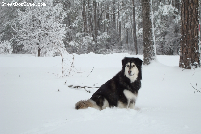 Goberian, 8, black, white, little bit of golden, We got her as a puppy, picked her from the other female because she had the different blue and brown eyes.  She's a great dog.  Easy going, loving, soft and cuddly.