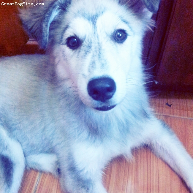 Goberian, 4 months, white,grey,gold, She is smart,cute and very active