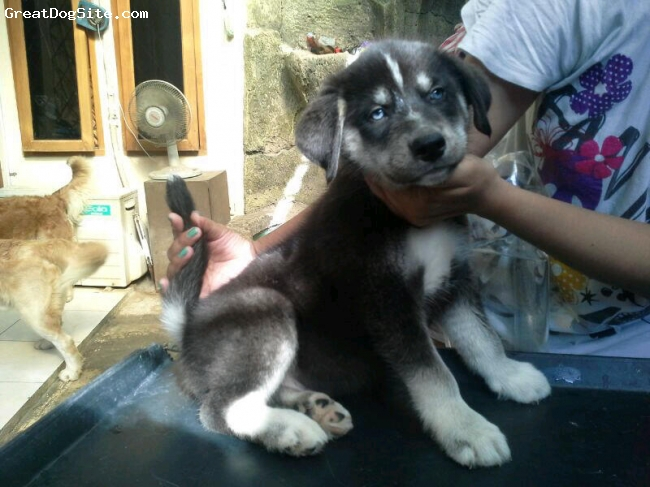 Goberian, 6 week, black,white, Blue eyes